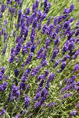 Lavender bed