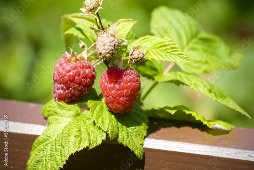 Two raspberry on branch