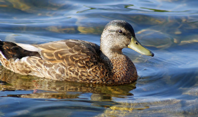 Mallard Duck Female - swimming on calm waters