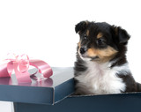 little sheltie puppy sitting in a gift box