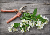 Jasmine flowers and secateurs on a  table