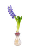 Blue Hyacinth flower blooming in glass vase isolated on white
