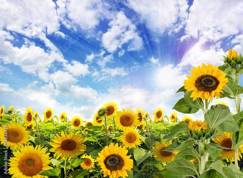 canvas print picture Sommer: Sonnenblumen mit blauem Himmel und Wolken