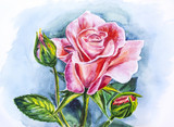 Beautiful rose, watercolor painting