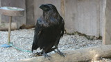 Raven (Corvus corax) - big black bird