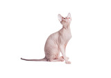 Sitting on a white background Sphynx cat looks up