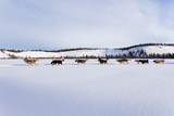 Dogsled team of siberian huskies out mushing