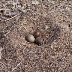 American Herring Gull nest with three mottled eggs