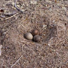 American Herring Gull nest with three mottled eggs