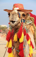 Fancy touristic camel
