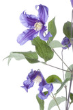 Clematis on white background