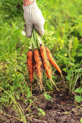 Bunch of fresh organic carrots