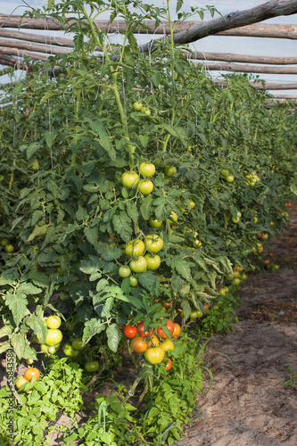 Tomatos in the greenhouse