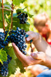 winemaker picking wine grapes
