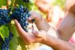 winemaker picking wine grapes