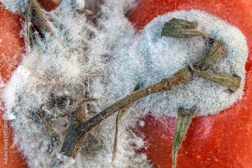 Tomato mold