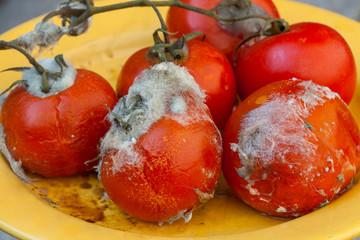 Rotten tomatoes on vine