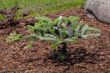 Coniferous young bush