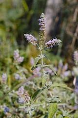 Organic, wild water mint (Mentha aquatica)
