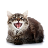 Striped fluffy mewing kitten lies on a white background poster