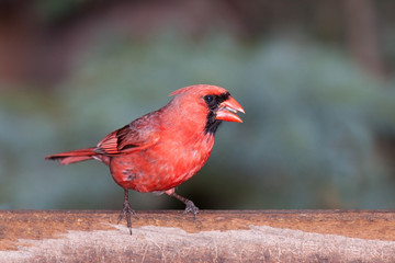 cardinal at the feeder eating seeds