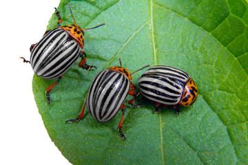 image of Colorado beetle on potato leaf