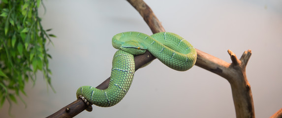 Emerald tree boa closeup,