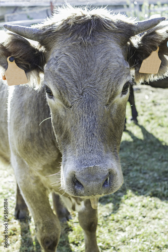 Cow on sunny meadow
