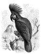 Bird : Parrot - Perroquet - Papagai