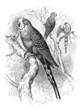 Bird : Parakeet - Perruche