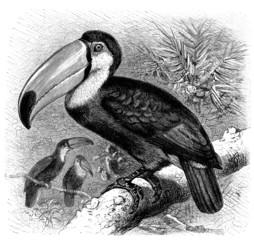 Bird : Toucan