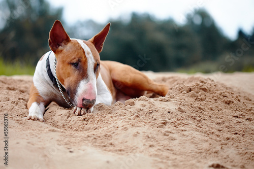 English bull terrier lies on sand.