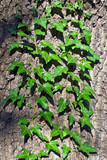 Ivy ordinary (lat. Hedera helix). Natural background