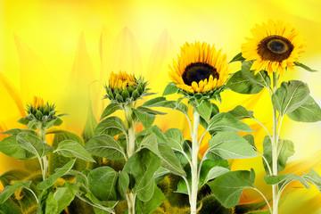 Wachstum, Reife: Entwicklung einer Sonnenblume