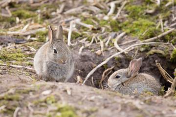 Rabbits at burrow