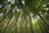 Fototapeta Bamboo forest in Hangzhou, China