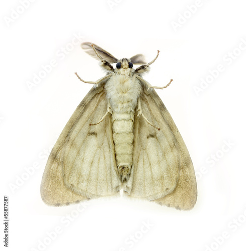 White Anthelidid Moth, Anthela callileuca,  isolated on white