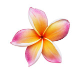 Blooming Yellow Plumeria (frangipani)  - with clipping path