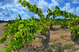 view of a vineyard with ripe grapes in Catalonia, Spain