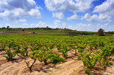 view of a vineyard in Tarragona, Catalonia, Spain