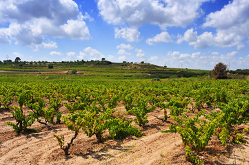 view of a vineyard in Tarragona, Catalonia, Spain