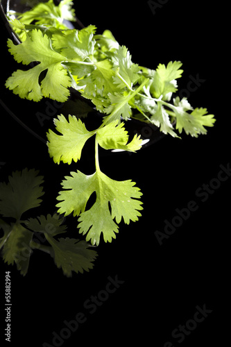 Cilantro isolated on black background.