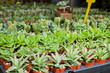 Tiny succulent plants in small pots for sale