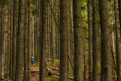 Woman is hiking in wild forest under huge trees