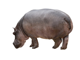 Hippo_isolated