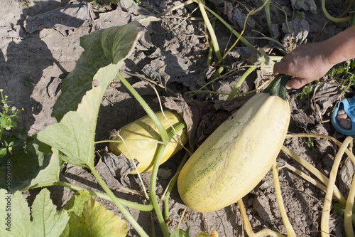 Process of assembly of a crop of  vegetable marrows