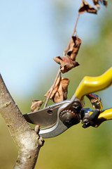 Pruner cutting dry branch
