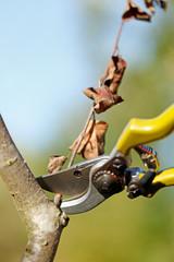 Pruner cutting dry branch