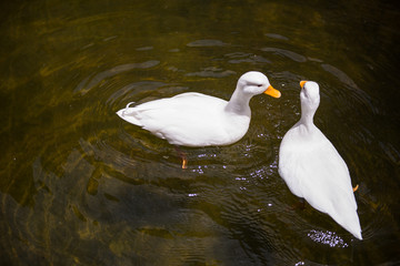 Two White ducks in the pond