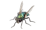 blow fly species Lucilia caesar - Fine Art prints